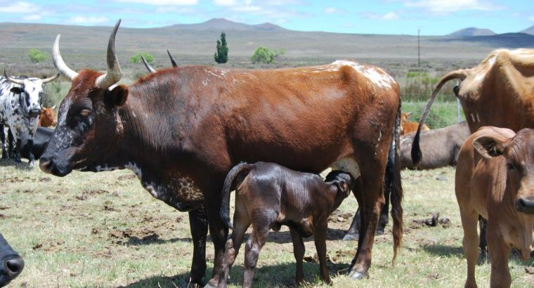 Nguni Cattle and Calves