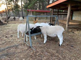 Dorper and Merino Sheep – Call/whatsapp +27 83 245