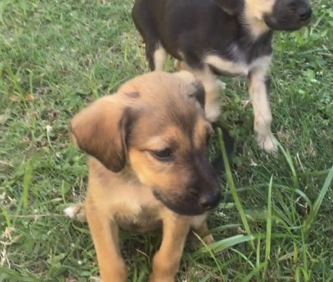 Ridgeback x German shepherd puppies
