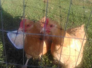 GOOD PRICE! BUFF ORPINGTON CHICKENS
