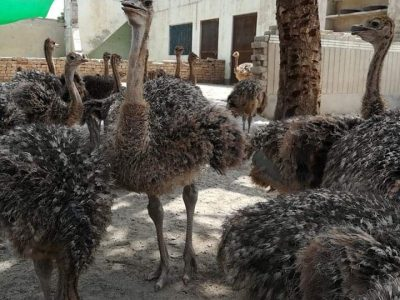 Ostrich Chicks and eggs price