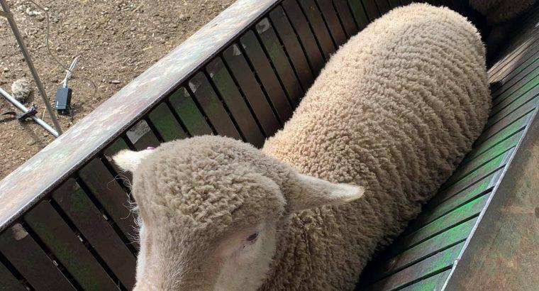 Merino Lambs available